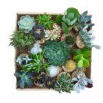 succulents - cactées