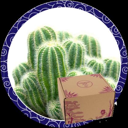 Box Cactus