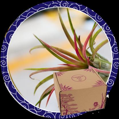 Déco végétale : Tillandsias