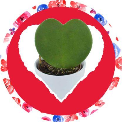 Green Love : Box Hoya Kerii