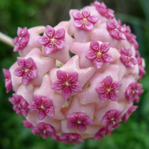 Green Love: fleur d'Hoya Kerii