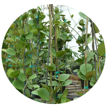 Green Love: Hoya Kerii
