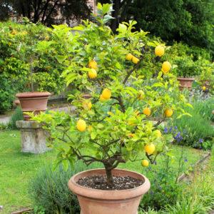 Box citron 4 saisons