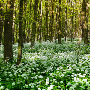 ail des ours - foret