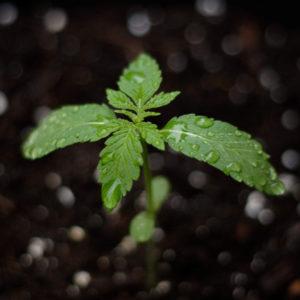 box cannabis: jeune plant