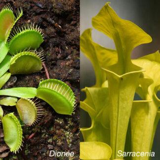 plantes carnivores d'extérieur